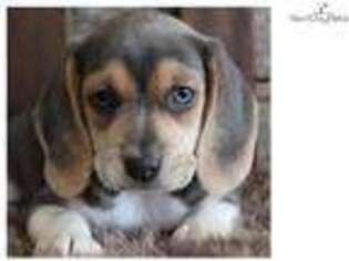 Beagle Puppy for sale in Springfield, MO, USA