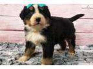 Bernese Mountain Dog Puppy for sale in Iowa City, IA, USA