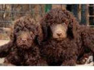 View Ad Schnoodle Standard Puppy For Sale Near Colorado Fort
