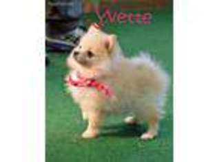 View Ad Pomeranian Puppy For Sale Oklahoma Maysville Usa