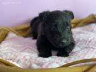 Scottish Terrier Puppy for sale in Bovey, MN, USA