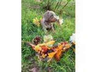 Dachshund Puppy for sale in Georgetown, TX, USA