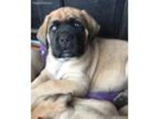 View Ad Mastiff Puppy For Sale North Carolina Rockingham Usa