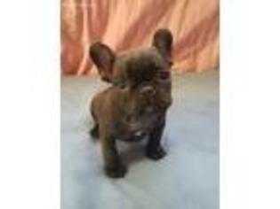 View Ad French Bulldog Puppy For Sale Near North Carolina