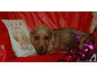 View Ad Dachshund Puppy For Sale North Carolina Avon Usa