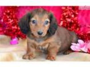 View Ad Dachshund Puppy For Sale Near Pennsylvania Lancaster Usa