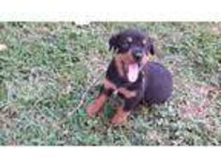 View Ad Rottweiler Puppy For Sale Texas Trinidad Usa