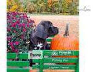 Medium Photo #1 Mutt Puppy For Sale in Memphis, TN, USA