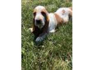 View Ad Basset Hound Puppy For Sale Ohio Coshocton Usa