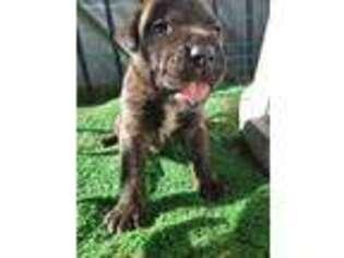 Puppyfinder com: Cane Corso puppies puppies for sale near me