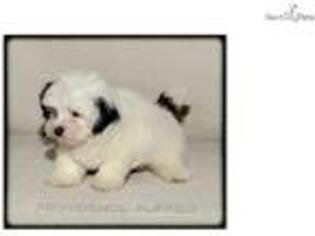 View Ad Havanese Puppy For Sale Near Iowa Iowa City Usa Adn