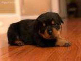View Ad Rottweiler Puppy For Sale New York Frankfort Usa