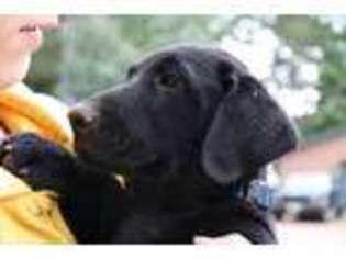 View Ad: Labrador Retriever Puppy for Sale near Wisconsin