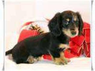 View Ad Dachshund Puppy For Sale Missouri Houston Usa