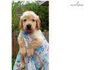 Golden retriever puppies adoption houston
