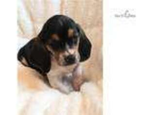 Basset Hound Puppy for sale in Springfield, MO, USA