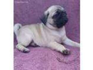 Pug Puppy for sale in Stacyville, IA, USA