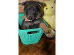 Puppyfinder com: German Shepherd Dog puppies puppies for