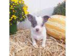 Chihuahua Puppy for sale in Gray, TN, USA