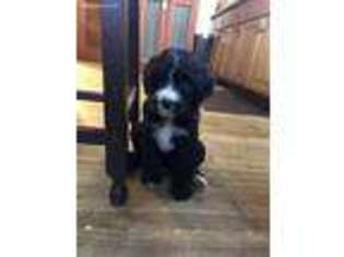 Mutt Puppy for sale in Austin, MN, USA