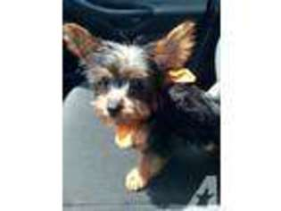 Puppyfinder com: Yorkshire Terrier puppies puppies for sale near me
