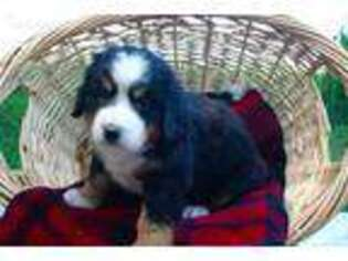 View Ad Bernese Mountain Dog Puppy For Sale Near Wisconsin
