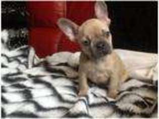 French Bulldog Puppy for sale in Manchester, Greater Manchester (England), United Kingdom