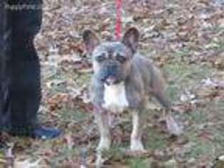 French Bulldog Puppy For Sale near Greenville, SC, USA