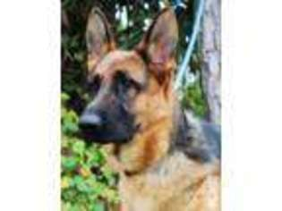 View Ad: German Shepherd Dog Puppy for Sale, Florida, VENICE, USA