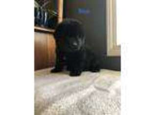 Newfoundland Puppy for sale in Lincoln, NE, USA