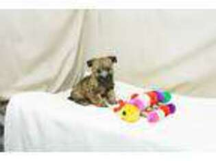 Cairn Terrier Puppy for sale in West Plains, MO, USA