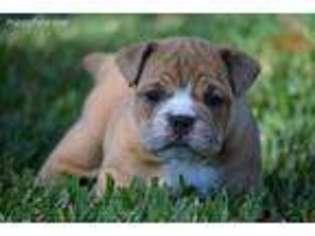 Olde English Bulldogge Puppy For Sale in Eustis, FL, USA