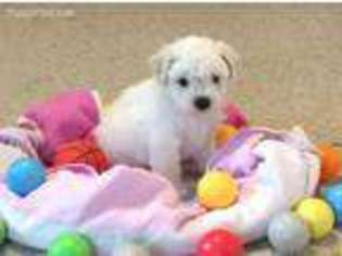PuppyFinder com - View Ad: Photo #1 of Listing Bichon Frise