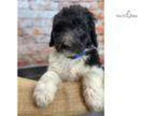 Shepadoodle Puppy for sale in Charlotte, NC, USA