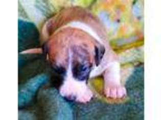 Puppyfinder com: Whippet puppies puppies for sale near me in