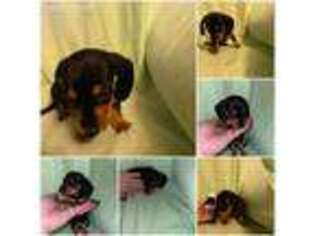 Dachshund Puppy for sale in Fort Dodge, IA, USA