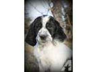 View Ad: English Springer Spaniel Puppy for Sale near