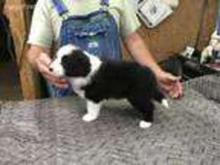 Puppyfinder com: Border Collie puppies puppies for sale near me in