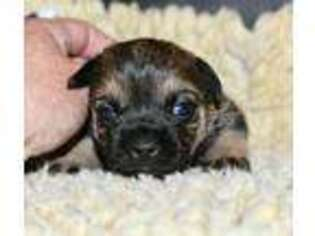 Border Terrier Puppy for sale in Scottsdale, AZ, USA