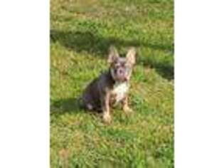 French Bulldog Puppy for sale in Trenton, GA, USA