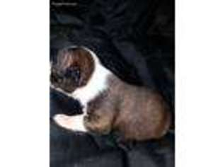 View Ad Boston Terrier Puppy For Sale North Carolina Mount Airy Usa