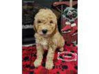 View Ad: Goldendoodle Puppy for Sale, Indiana, Amboy, USA