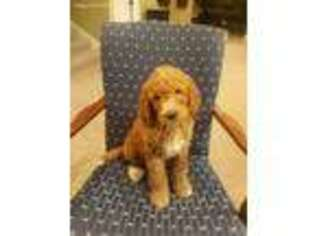 Labradoodle Puppy for sale in Atlanta, GA, USA
