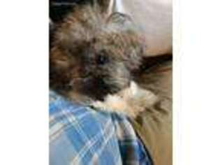Havanese Puppy for sale in Killen, AL, USA