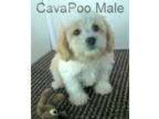 View Ad: Cavapoo Puppy for Sale, Tennessee, Gordonsville, USA