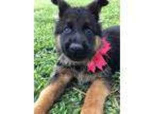 Puppyfinder com: German Shepherd Dog puppies puppies for sale near
