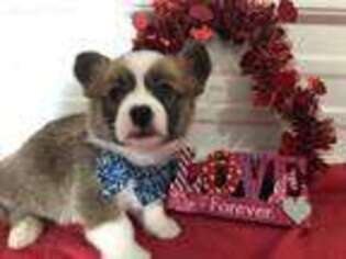 Pembroke Welsh Corgi Puppy for sale in Britton, SD, USA