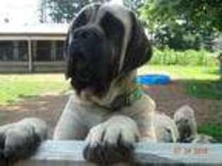 Puppyfinder com: Mastiff puppies puppies for sale near me in