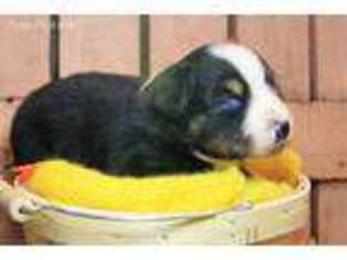 Australian Shepherd Puppy for sale in Dade City, FL, USA