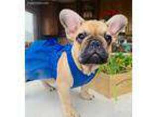 French Bulldog Puppy for sale in Lone Tree, CO, USA